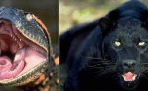 Anaconda vs Jaguar