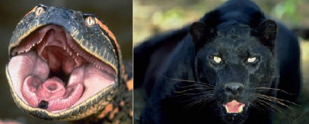 Anaconda vs Jaguar