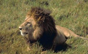 Big Lion Hugs & Kisses His Rescuer!