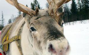 Reindeers Fly High